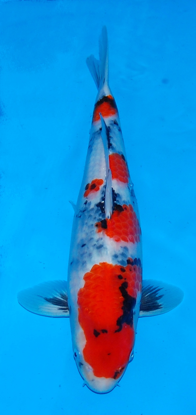 High quality koi for sale and bespoke bio chambers koi for Dainichi koi for sale