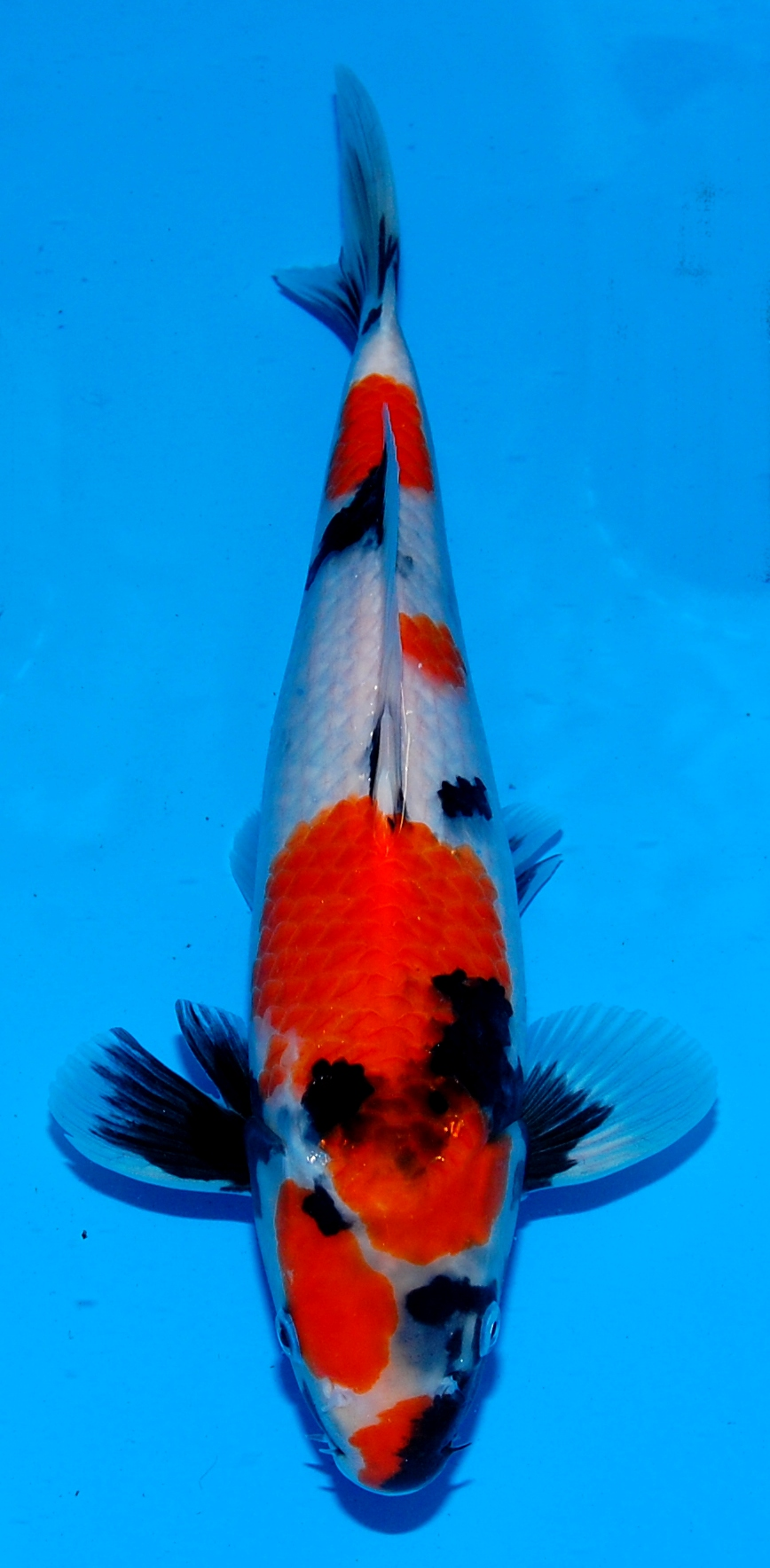 End of Year Koi For Sale Offer