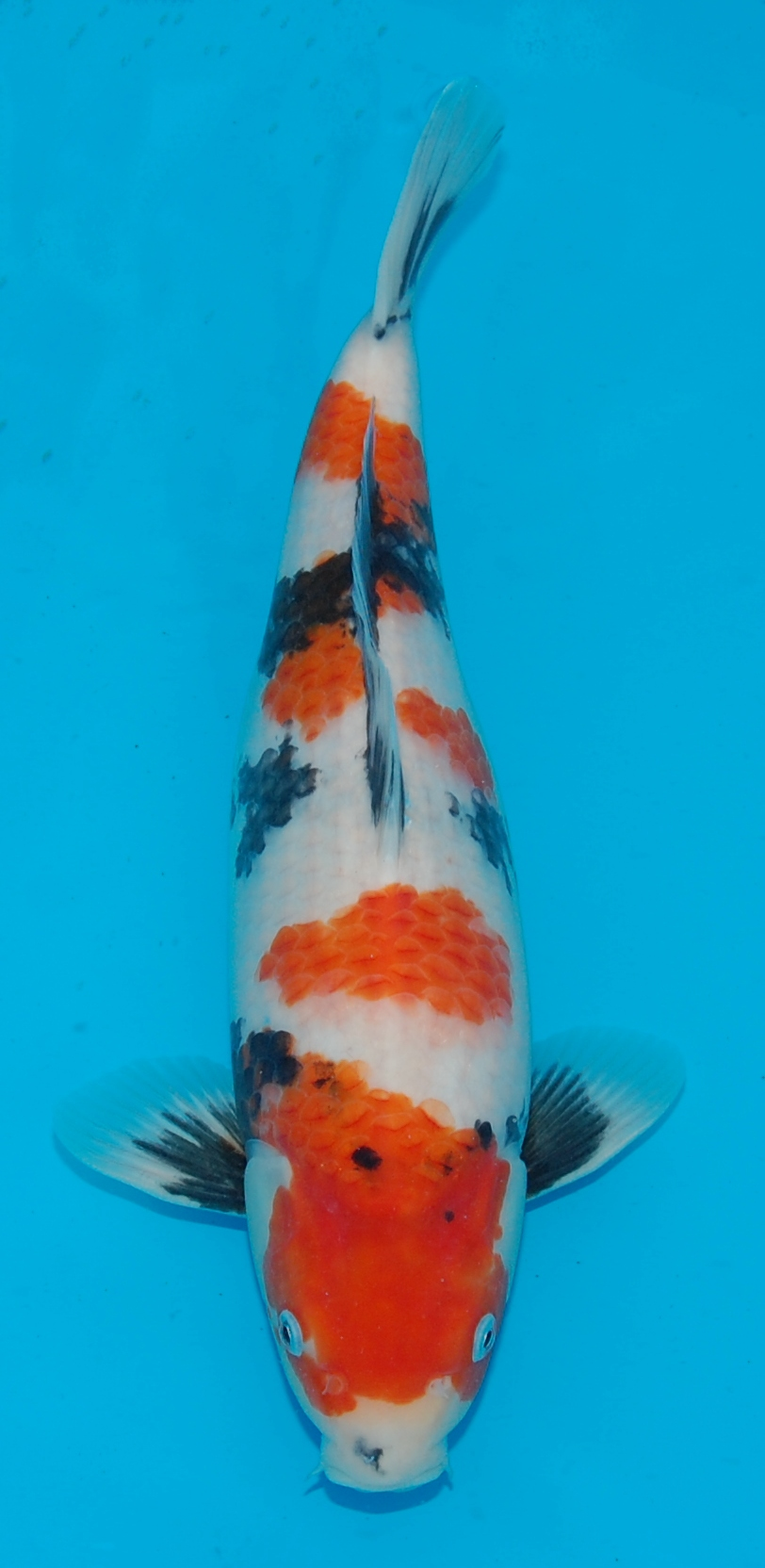 Development category koi development image isa for Tosai koi for sale
