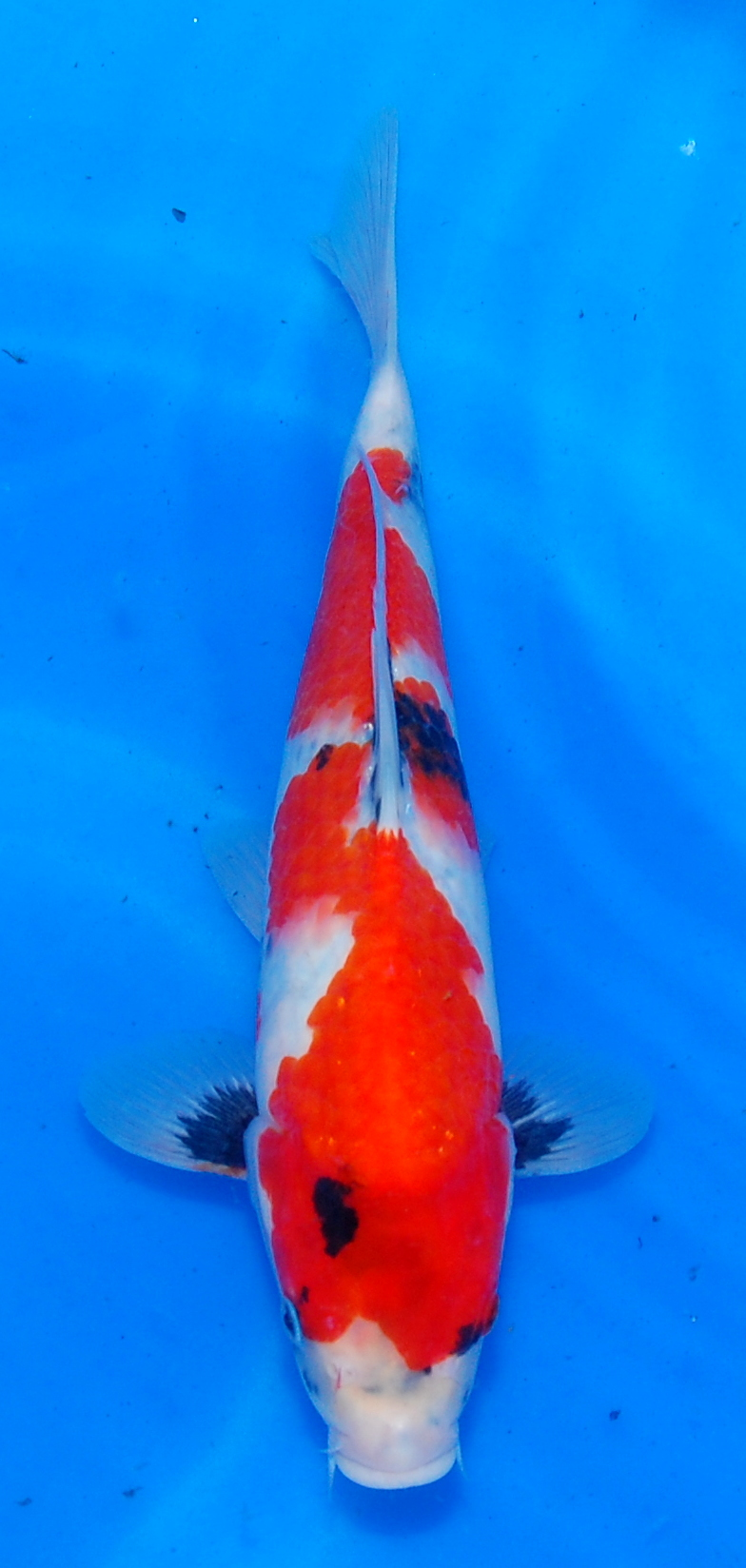 New Koi Arrivals