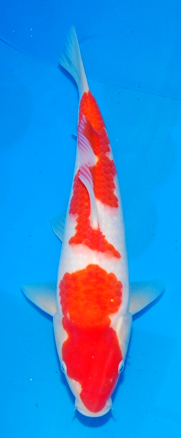 New Koi now available for Viewing
