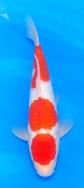 Marudo Female Jumbo Tosai No3 £1295